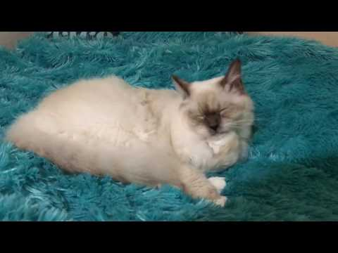 Ragdoll kitten - 10 months old - what you need to know about breed
