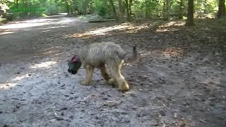 Bruno ohne Leine im Wald, ein Briard ganz einfach so ,was passiert ?