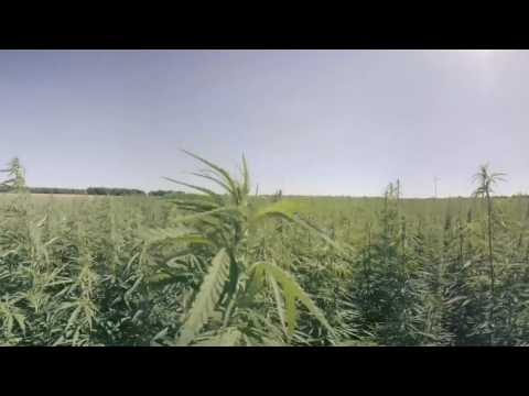 Industrial cannabis in Poland