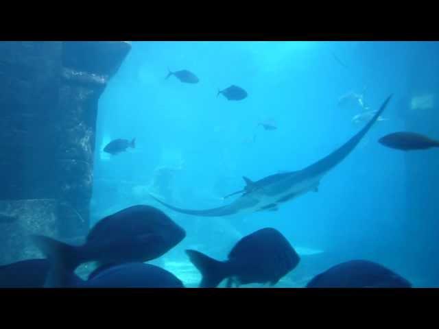 Manta Rochen im Aquarium vom Hotel Atlantis in Nassau / Bahamas