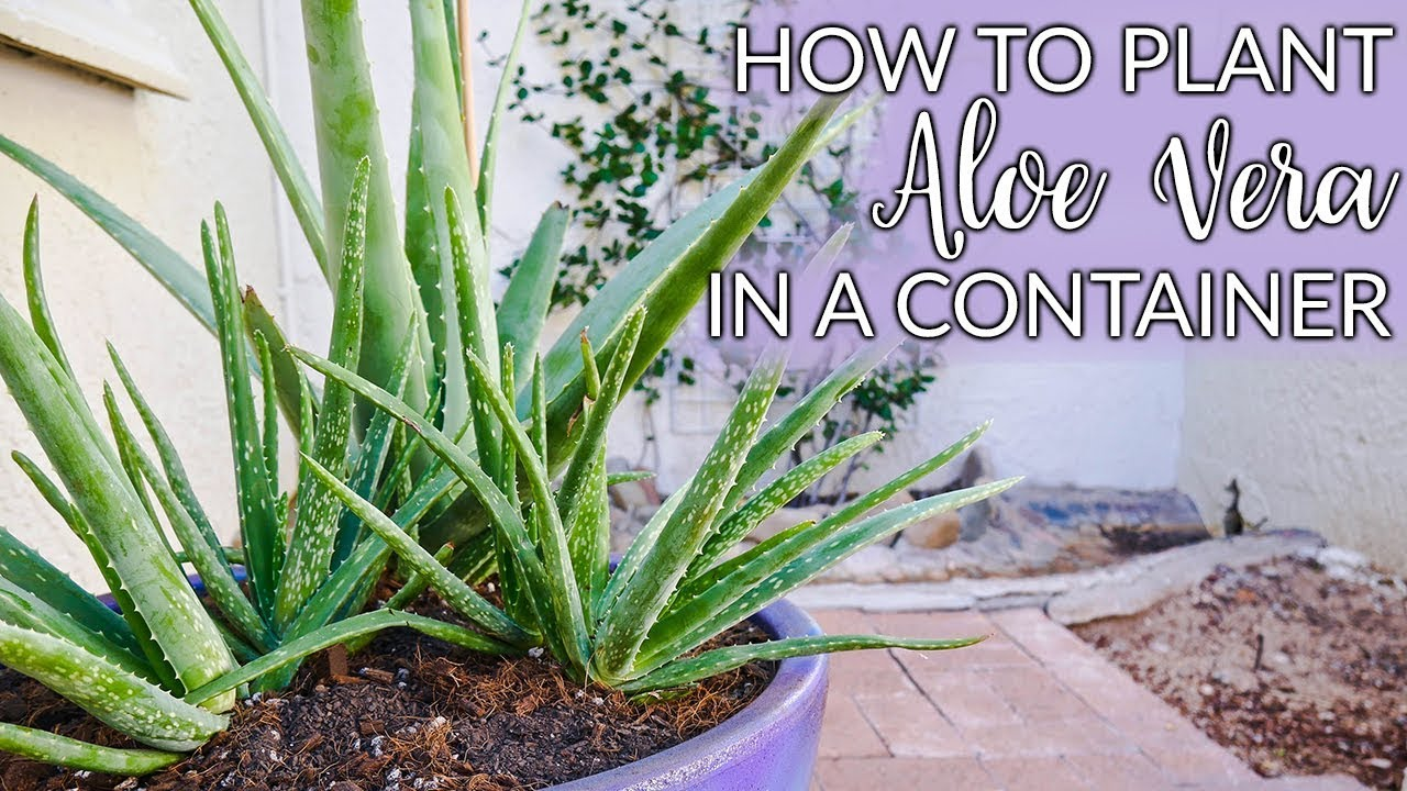 Steps To Planting Aloe Vera In Containers Plus The Mix To Use Joy Us Garden Youtube