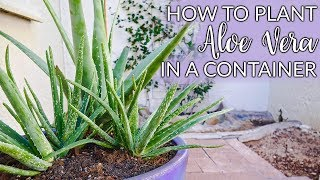 Steps to Planting Aloe Vera In Containers; Plus The Mix to Use / Joy Us Garden