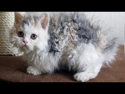 These Poodle Cats Are So Adorable Your Heart Will Melt When You See Them