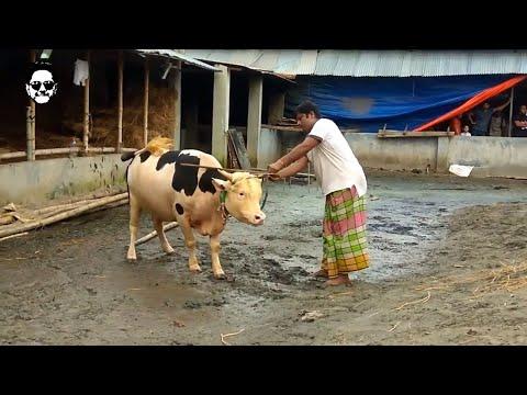 Donald Trump the cow at Samarai Agro || 2017 || Jhomjomat Kurbanir Haat || Fahim Fahi