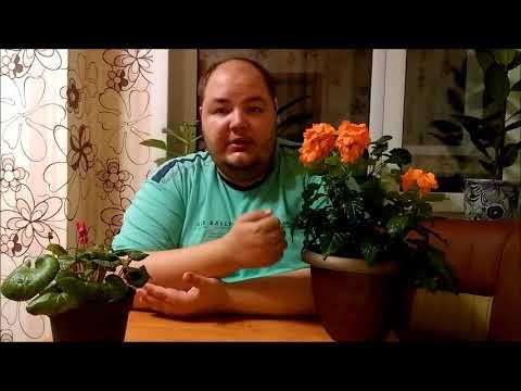Цикламен и Кроссандра - цветение моих уценочек