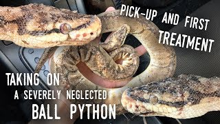 Rescuing SATURN, a BADLY ABUSED Ball Python | Pick-up and Initial Treatment