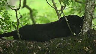Shaaz Jung - A Walk Through Jungle