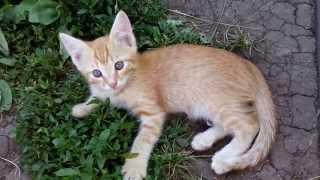 Отдам рыжего котенка, котик, возраст около 2-х месяцев. г Красноярск