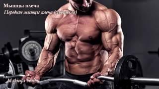 Мышцы верхней конечности: функциональная анатомия