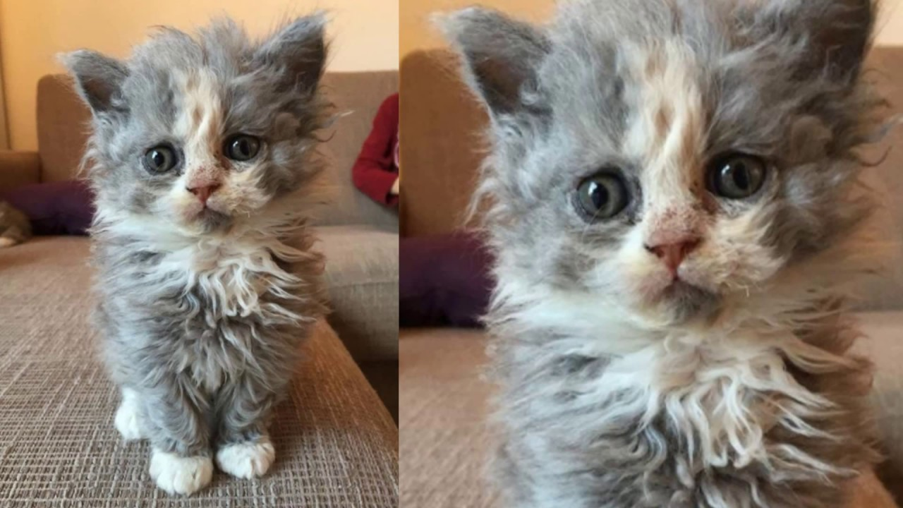 Curly Haired Cats People Are Losing Their Minds Over Curly Haired