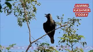 FREEDOM ,UPHAAR , COMEDY VIDEO STORY, FOLK TALES IN HINDI PAHARI KOWE KI KAHANI, CROW BIRD STORY