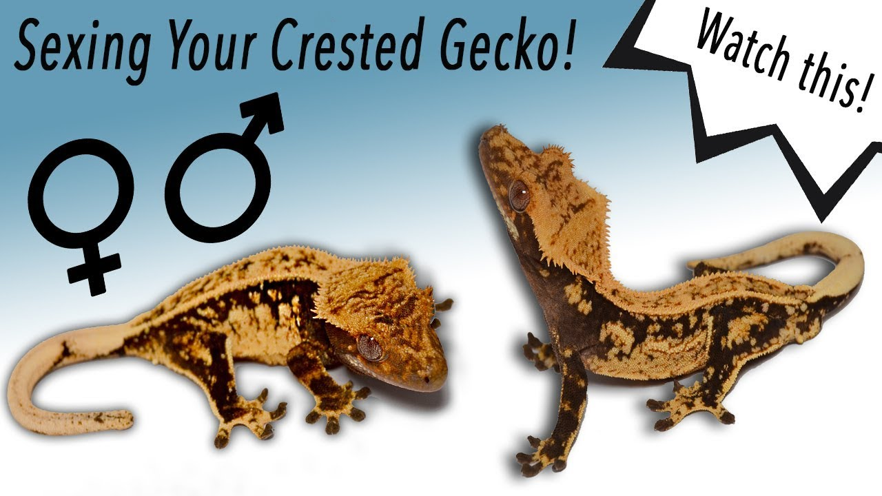 Is My Crested Gecko A Male Or A Female Watch This -7988