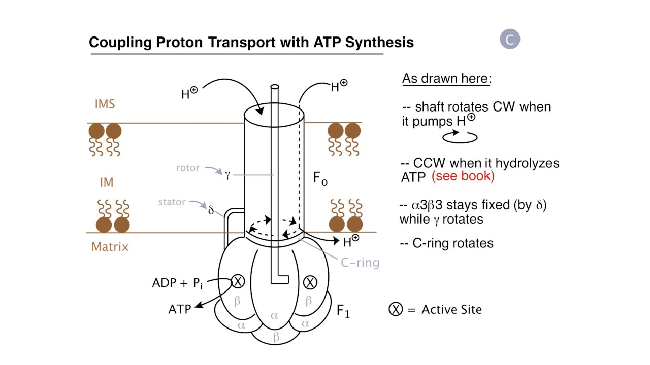 Respiration proton pumps and atp synthesis youtube respiration proton pumps and atp synthesis pooptronica