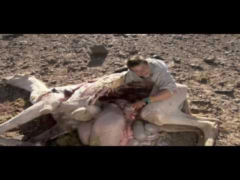 Download Ultimate Survival - Bear Grylls eet geit en kameel.
