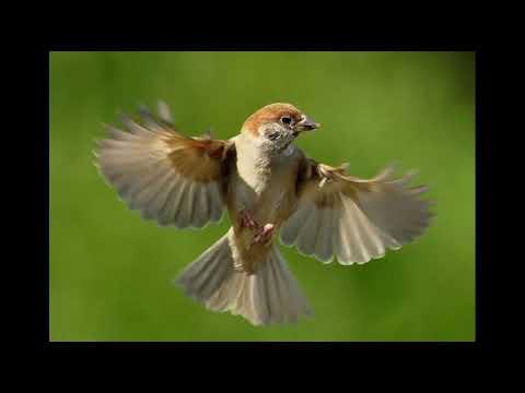 Suara Burung Gereja Tarung Masteran Gacor