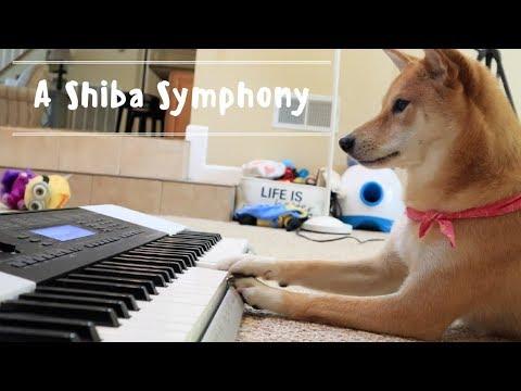 GENIUS Shiba Inu learns PIANO!