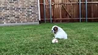 English Bulldog Puppies For Sale - Robey