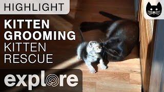 Kitten Getting Groomed - Kitten Rescue - Live Cam Highlight