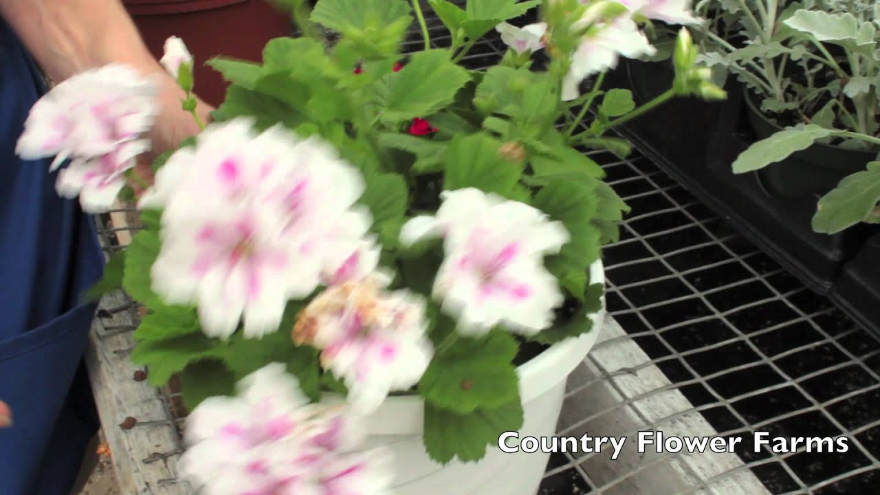 how to deadhead geraniums youtube