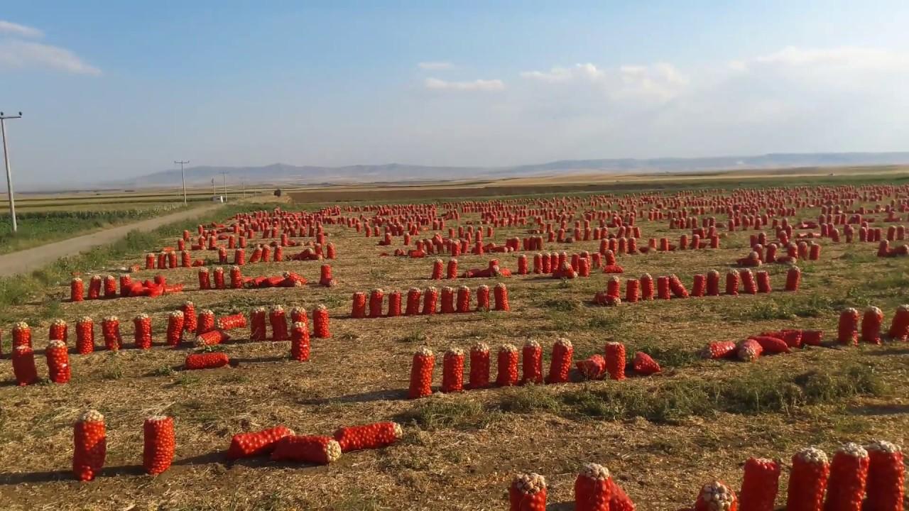 Soğan Tarlası Hasat - Onion Field harvest - YouTube
