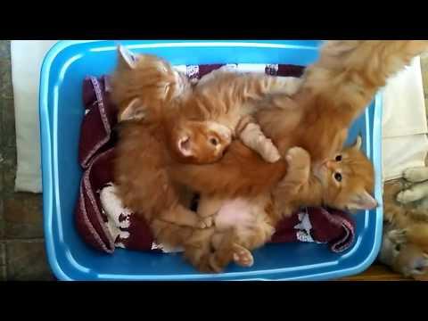Котята мейн куны 1 месяц Maine coon kittens 1 month