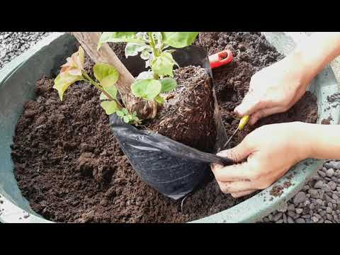 Repotting of bougainvilleas on Old clay jars