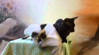Котята ориенталы на продажу