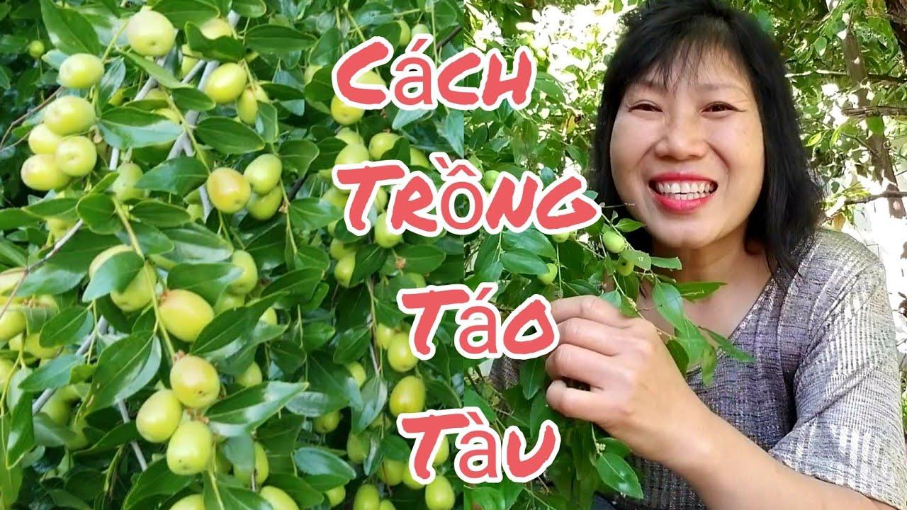 Bí quyết trồng TÁO TÀU trĩu quả giòn ngọt. Hái THANH LONG vườn nhà ở Mỹ
