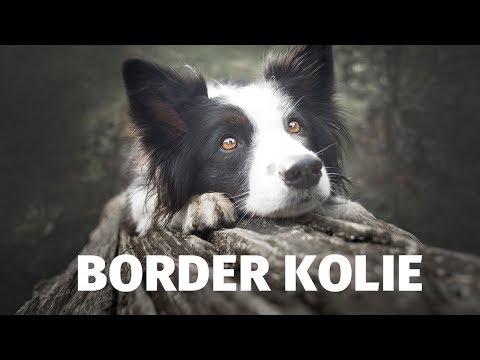 Border kolie - Atlas plemen - Tlapka TV
