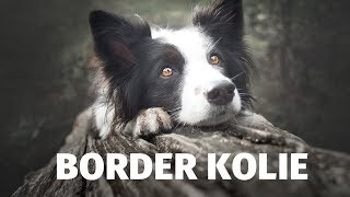 Border kolie - Atlas plemen - Tlapka TV