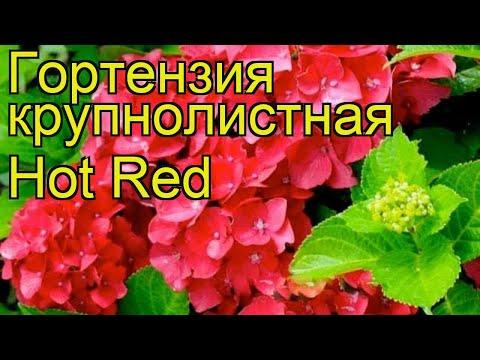 Гортензия крупнолистная Горячий красный (хот ред). Краткий обзор hydrangea macrophylla Hot Red