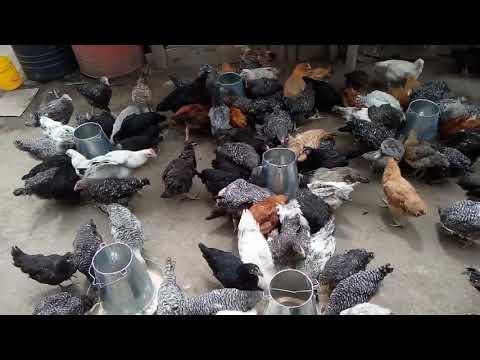 f1-kuroiler-chicken-farming