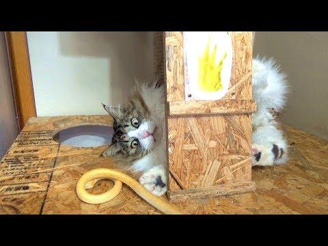 金のハブで遊ぶボス猫 Boss cat playing with gold snake