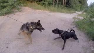 Овчарка и питбуль - девочки пытаются сожрать друг друга из-за мальчика! (GoProHero3+)