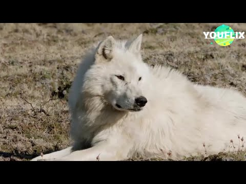 Le Loup Arctique 2