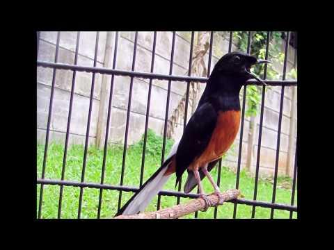 Suara burung murai batu gacor bagus penuh isian