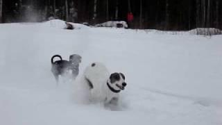 Pinscher And Greyhound Running