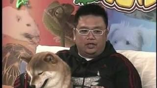 柴犬知多D! 「寵愛百分百」首次介紹日本狗隻、柴犬;今集請來一位養柴犬...