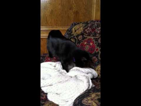 Cat preparing bed.
