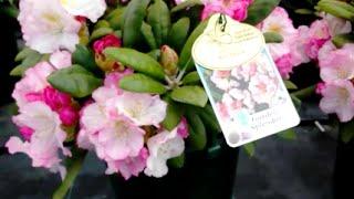 Best Garden Shrubs, Rhododendron Ken Janeck