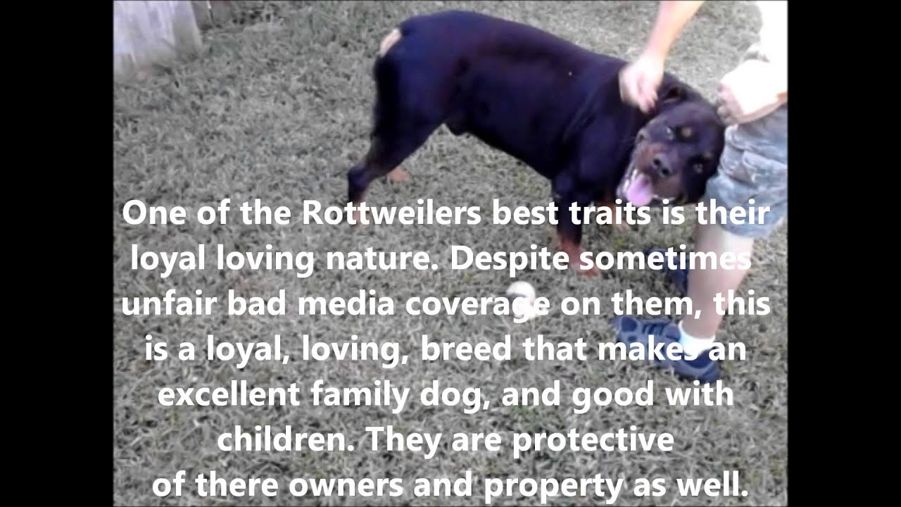 Rottweiler History And Description Youtube