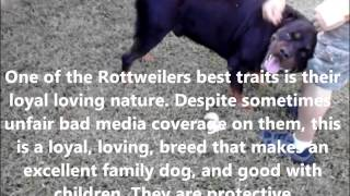 Rottweiler History And Description