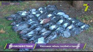 Массовая гибель голубей в Одессе