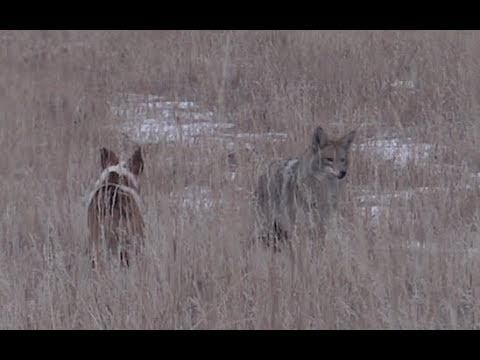 COYOTE HUNTING - Odie The DECOY DOG Is BACK - Coyote Assassins Episode 25