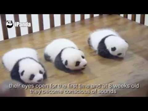 Cute Panda Youtube