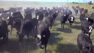 Cattle shipping Drummond Ranch