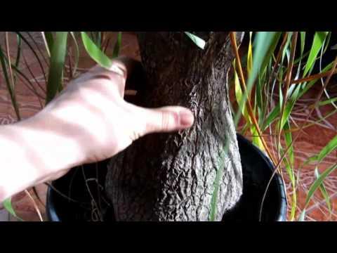 Растение нолина в домашних условиях