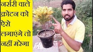 Croton ke Podhe ko kaise lagaye /Right Way to Plant Croton In Pot
