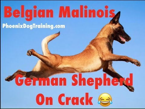 BELGIAN MALINOIS | GERMAN SHEPHERD ON CRACK PUBLIC SERVICE ANNOUNCEMENT