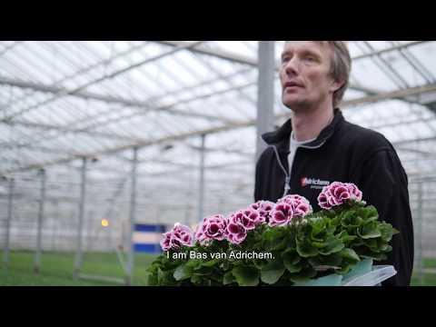 Regal Pelargonium - Walking Plants In A Colourful Greenhouse